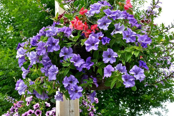 One of the hanging flower baskets decorating downtown Bobcaygeon. (Photo: Bruce Hobley)