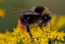 Ontario is home to over 300 different species of bee including the bumblebee, an important agricultural pollinator. Like other native wild bees, bumblebees are experiencing a decline in population because of habitat loss, the mechanisation of agriculture, and pesticides. There are things you can do to help protect pollinators, including bees. (Photo: Wikipedia)