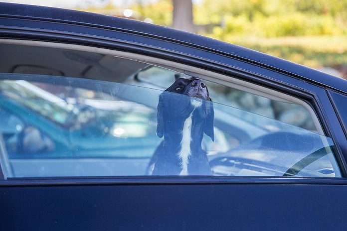 Dog left unattended in car.