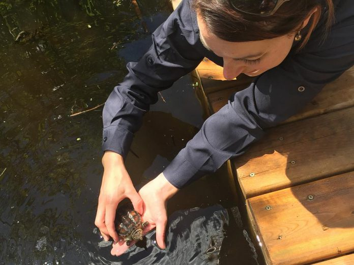 A volunteer gets ready to release a snapping turtle hatchling in its new home. (Photo: Kawartha Land Trust)