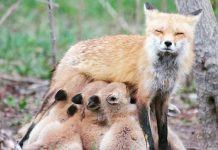 This photo of a mama fox in Kawartha Lakes feeding her brood was the top photo on our Instagram for June 2018. (Photo: Kathryn Frank @_katy.did.it_ / Instagram)