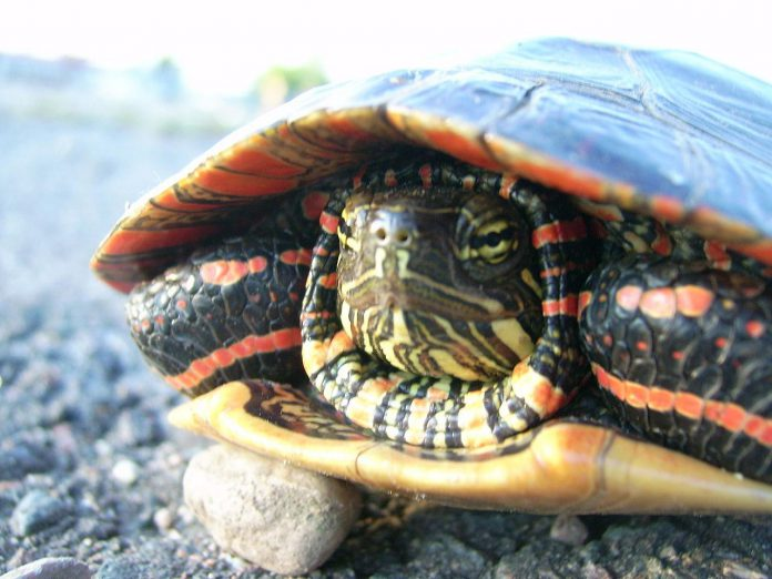 "The Midland Painted Turtle, so named due to the unique red or orange markings around the edges of its shell and red and yellow stripes on its head and neck, was recently listed as a species of ""special concern"" under the federal Species At Risk Act. (Photo: Wikipedia)"