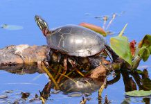 "In April 2018, the Committee on the Status of Endangered Wildlife in Canada assessed the Midland Painted Turtle as a species of ""special concern"" under the federal Species At Risk Act. Under Ontario's Endangered Species Act, seven additional species of turtles are listed as threatened, endangered, or of special concern, with an eigth species listed as extirpated (extinct in Ontario). (Photo: Appaloosa CC BY-NC 2.0)"