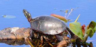 """In April 2018, the Committee on the Status of Endangered Wildlife in Canada assessed the Midland Painted Turtle as a species of """"special concern"""" under the federal Species At Risk Act. Under Ontario's Endangered Species Act, seven additional species of turtles are listed as threatened, endangered, or of special concern, with an eigth species listed as extirpated (extinct in Ontario). (Photo: Appaloosa CC BY-NC 2.0)"""