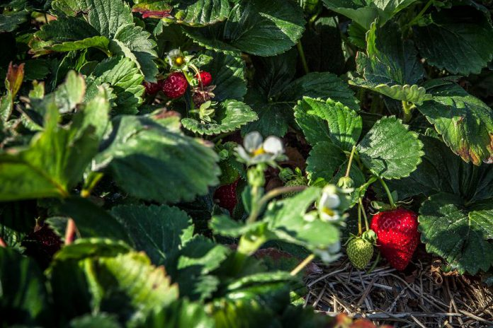 McLean and Buckhorn Berry Farms in Lakefield offers both pick-your-own and pre-picked berries in season, as well as a variety of other produce.