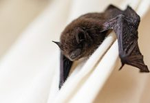 A bat on a curtain inside a house