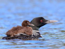 A young loon rides on its mother's back in this August 1, 2018 photo by wildlife and nature photographer Cliff Homewood, who has been documenting the bird since it was born in June. (Photo: Cliff Homewood / Instagram)