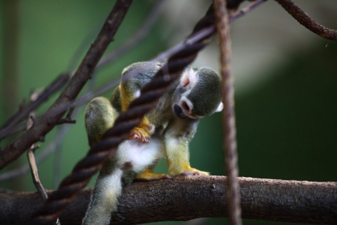 The squirrel monkey is one of more than 45 species of animals at the Riverview Park & Zoo in Peterborough, an accredited zoo praised as one of the most ethical in Canada.