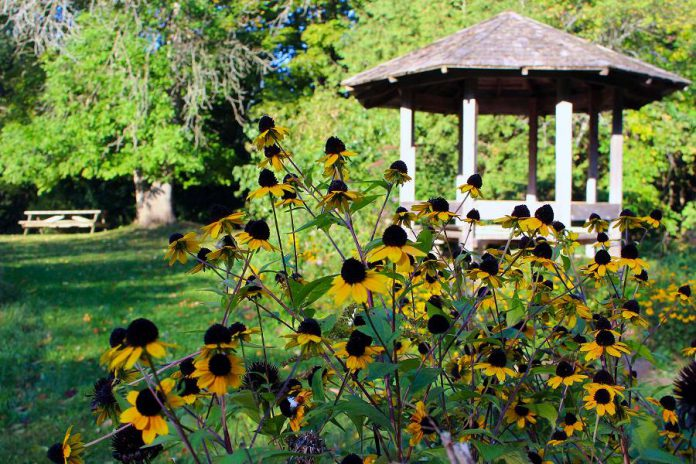 Brightly coloured Rudbeckia flowers bloom in front of the gazebo at GreenUP Ecology Park at 1899 Ashburnham Drive in Peterborough. Enjoy a fall picnic, a stroll, or a bike ride through the trails and gardens at Ecology Park to take in the beauty of autumn. (Photo courtesy of GreenUP)
