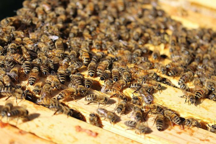 Honeybees at one of the hives at GreenUP Ecology Park. (Photo: Karen Halley)