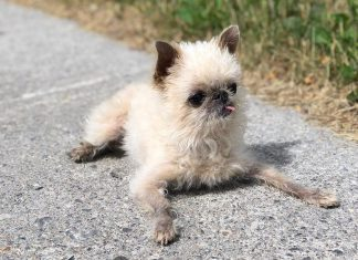 """Instagram star Owen the Griff, a Brussels Griffon owned by Lisa Besseling and Marlon Hazlewood of Lakefield, is the leading fundraiser for the annual """"Strutt Your Mutt"""" walk in support of the Peterborough Humane Society, which takes place Sunday, September 23rd at Beavermead Park in Peterborough. (Photo: @owenthegriff / Instagram)"""