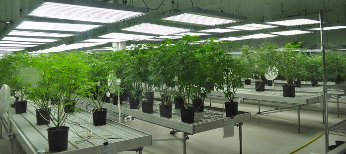 Cannabis plants at marijuana company Tweed's location in the former Hershey's chocolate factory in Smiths Falls, Ontario. Tweed is owned by Canopy Growth Corporation, the world's largest cannabis company. It trades publicly as WEED on the Toronto Stock Exchange. (Photo: Barb Shaw)
