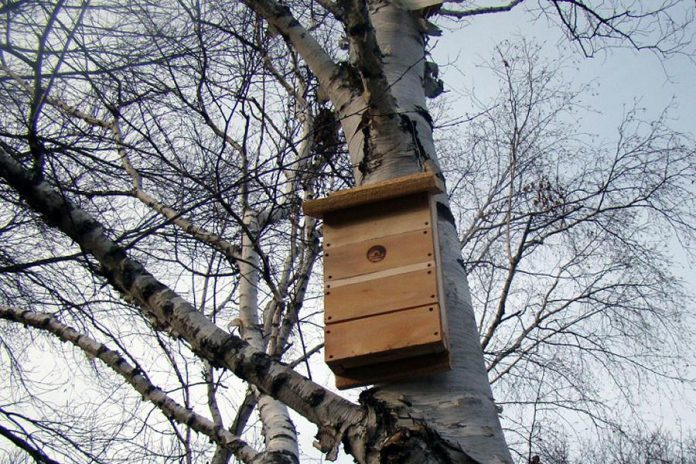 A bat house hangs in a birch tree at GreenUP Ecology Park.  You can help to boost bat populations by hanging one in your yard. Bats have long been portrayed as spooky, animals of Halloween however they can benefit us by eating over 1,000 mosquitoes in only one hour. (Photo: GreenUP)