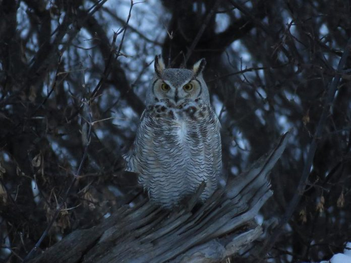 The Great Horned Owl is one of 11 species of owls known in Ontario. Owls are adapted for life in the dark, with a highly developed sense of sight and pinpoint hearing. As predators of mice, moles, and voles, owls have an important ecological niche. (Photo: Alex Galt / U.S. Fish and Wildlife Service)