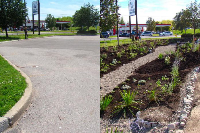 Before and after photos of the Depave Paradise location at the corner of Brealey Drive and Lansdowne Street West in Peterborough shows the transformation that can happen when impermeable asphalt is replaced by greenspace, allowing water infiltration, reducing flooding and runoff, and creating a much more inviting space. (Photos: GreenUP)