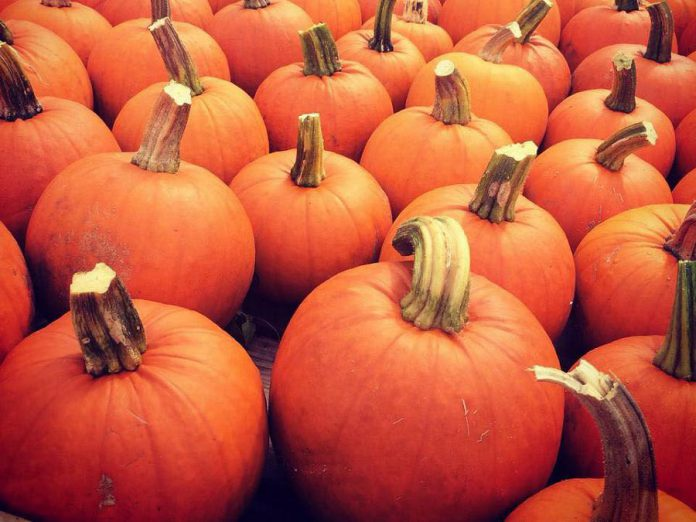 The annual McLean Pumpkinfest is opening this Thanksgiving weekend in Buckhorn, and will be taking place every weekend (Saturday and Sunday) until Sunday, October 28th. (Photo: McLean Berry Farm)