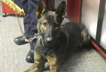 Isaac, the newest canine member of the Peterborough Police Service, has completed seven weeks of his 15-week training regimen side by side with his handler, Constable Bob Cowie. All proceeds from the Rotary Club of Peterborough Kawartha's 2018 Rotary Christmas Auction will fund the acquisition and training of Isaac. (Photo: Paul Rellinger / kawarthaNOW.com)
