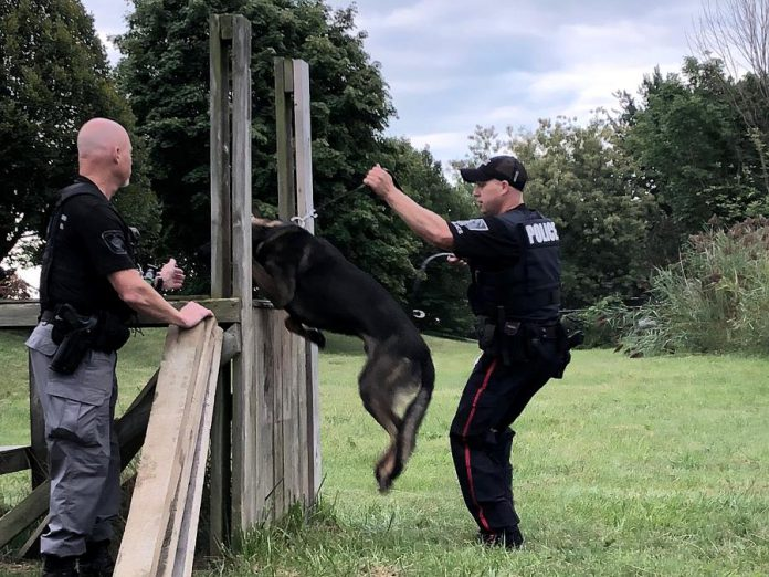 A demonstration of Issac's training. The latest addition to the Peterborough Police Service's K9 Unit, Isaac is expected to be placed on active duty by Christmas. (Photo: Dean Ostrander / Rotary Club of Peterborough Kawartha)