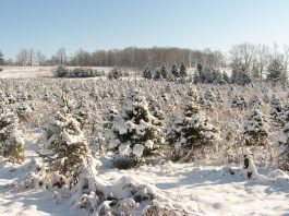 Christmas tree farms are open for business in the Kawarthas. Picture is a grove of Spruce trees at Barrett's Tree Farm north of Cobourg. (Photo: Barrett's Tree Farm)