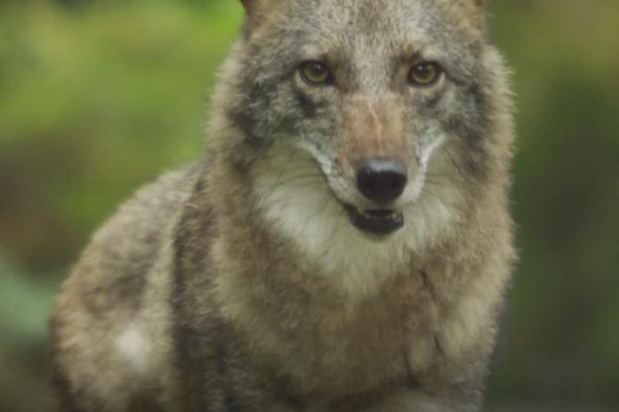 Over the past 100 years, the eastern coyote, or coywolf, has spread from Algonquin Park in Ontario to as far south as Pennsylvania in the U.S.  Researchers estimate the population is now in the millions. (Screenshot from CBC documentary Meet the Coywolf)