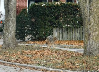 Peterborough resident Rob Wilkes took this photo earlier in November 2018 of an eastern coyote walking down a sidewalk on Waterford Street near downtown Peterborough, across the Otonabee River from Rotary Park. Also known as a coywolf, the animal originated as a coyote-wolf hybrid 100 years ago in Algonquin Park, and has since also bred with domesticated dogs. (Photo courtesy of Rob Wilkes)