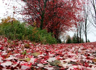 Fallen leaves make for a beautiful sight in the Heritage Park neighbourhood in Peterborough. Leaves left on the ground over the winter are also beneficial for protecting plants and providing overwintering sites for insects and hibernating animals. (Photo: Karen Halley)