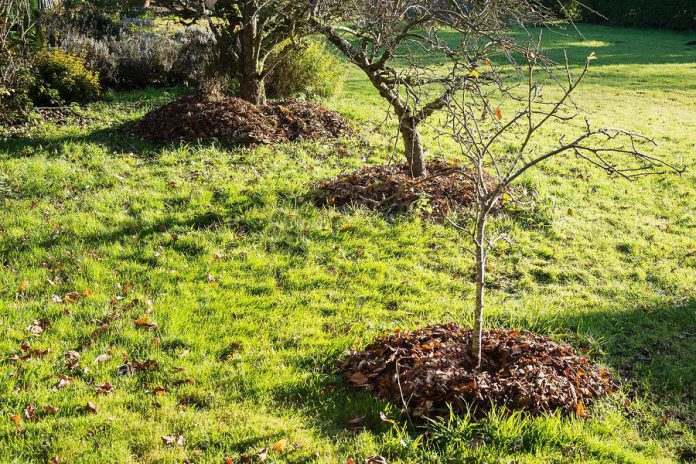 You can use leaf mulch to provide nutrients to your lawn and garden over the winter and support healthy soil for plants to grow. Mulch placed around trees can also help maintain soil moisture, inhibit weed growth, and keep soil warmer in the winter; however,  don't pile mulch up against the trunk as this can result in rot.