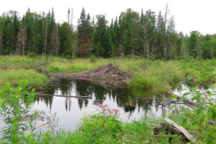 The property includes a swamp that is part of a 183-acre Provincially Significant Wetland. (Photo courtesy of Kawartha Land Trust)