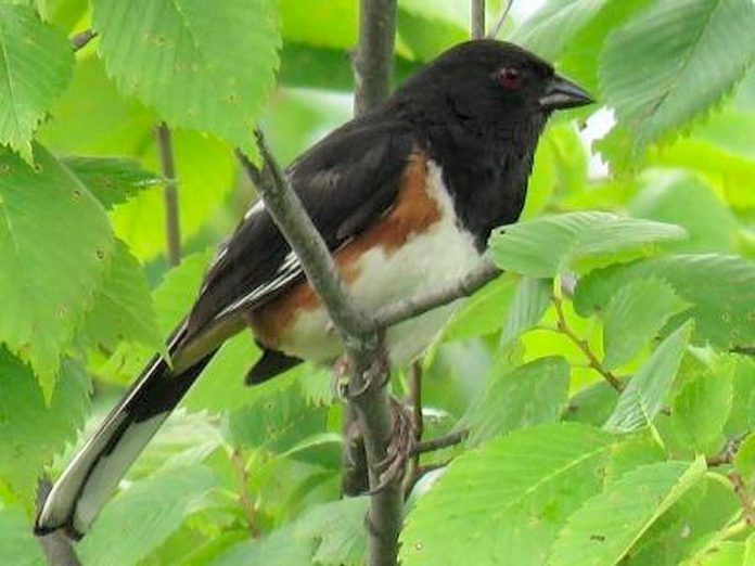 The loss of scrubland habitat due to human activities such as brush clearing and agricultural production reduced the population of the Eastern Towhee by 49 per cent in the last 50 years. (Photo:  KLT volunteer Steve Paul)