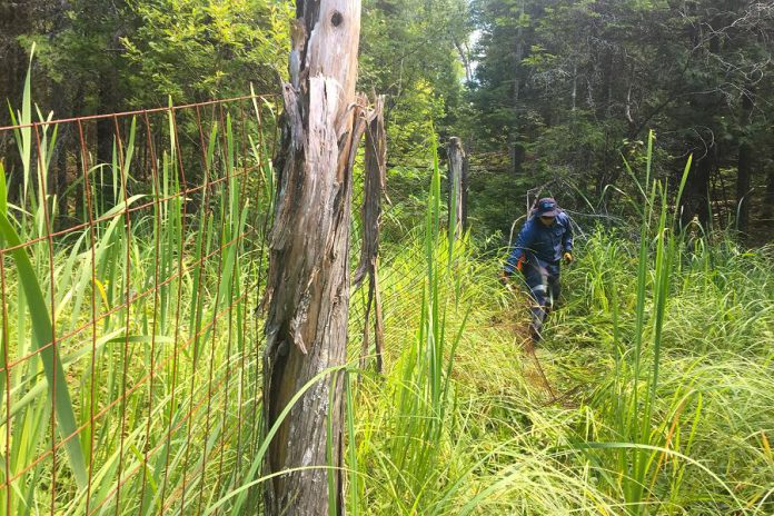 A volunteer removes some of the old wire fencing used by a previous owner to enclose the property.  Wildlife organizations will repurpose the fencing for new enclosures and other projects. (Photo courtesy of Kawartha Land Trust)