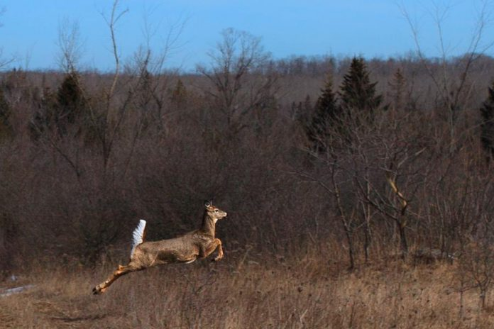 A white-tailed deer at the Cation Wildlife Preserve, one of many species of wildlife that use the 669-acre property as a natural corridor. Now that David and Sharon Cation have donated the property to Kawartha Land Trust, it will be protected in perpetuity from the kind of development over the last century that saw its old-growth forest destroyed and a reduction of the area's biodiversity. (Photo: KLT volunteer Andy Holden)