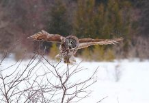 "You and your family might catch a glimpse of a Great Grey Owl during ""Christmas at Ken Reid"" on Saturday, December 8, 2018 at the Ken Reid Conservation Area north of Lindsay. The free day-long event features activities for the entire family, including interactive Indigenous storytelling and drumming, guided interpretive family hike, live music, an interactive wildlife show, kids' indoor and outdoor crafts, horse-drawn wagon rides, and more. (Photo: Mark Majchrowski / Kawartha Conservation)"