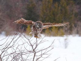 """You and your family might catch a glimpse of a Great Grey Owl during """"Christmas at Ken Reid"""" on Saturday, December 8, 2018 at the Ken Reid Conservation Area north of Lindsay. The free day-long event features activities for the entire family, including interactive Indigenous storytelling and drumming, guided interpretive family hike, live music, an interactive wildlife show, kids' indoor and outdoor crafts, horse-drawn wagon rides, and more. (Photo: Mark Majchrowski / Kawartha Conservation)"""