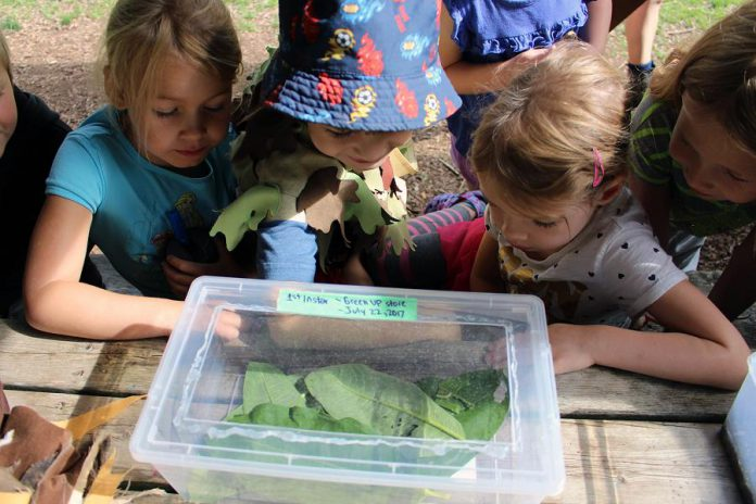 Children at GreenUP Ecology Park in Peterborough observe Monarch caterpillars collected as part of Monarch Watch, a North American citizen science project that tracks tagged Monarchs from across the continent along their migration route. (Photo: Karen Halley)