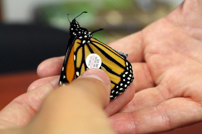 After being collected as a caterpillar, and cared for until it's final transition into a butterfly, an adult monarch is tagged and then released outside the GreenUP Store, for its long migration to Mexico. (Photo: Karen Halley)
