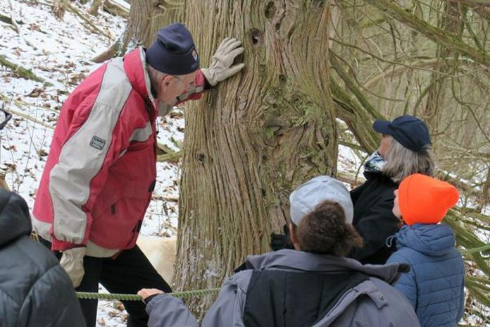 Property owner Bob Hartley examines an old-growth cedar tree at Pine Ridge. Some of the trees on the property are estimated to be up to 215 years old, the oldest in the Kawarthas Lakes. (Photo courtesy of Kawartha Land Trust)