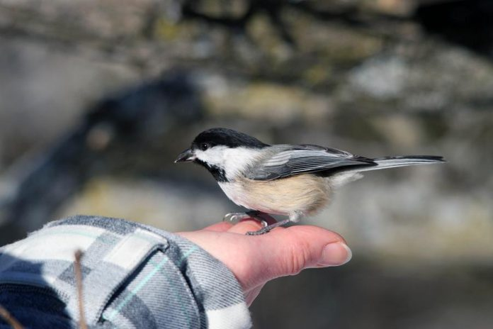 Feeding chickadees can be a magical winter experience. When you see or hear chickadees in your backyard or while on a hike, simply hold out a handful of seeds and wait patiently for one to land.  (Photo: Dylan Pond)