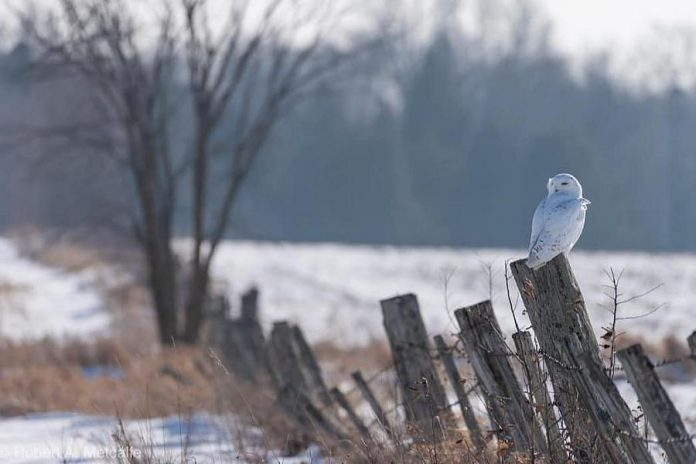 This capture of a magnificent snowy owl by Robert Metcalfe was the top post on our Instagram for January 2019, with almost 11,000 impressions and 835 likes. (Photo: Robert Metcalfe @robert.a.metcalfe / Instagram)
