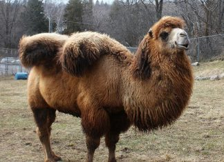 Gobi, the Bactrian camel at the Riverview Park and Zoo, has unexpectedly died at the age of 10. Here he is pictured with his winter coat. (Photo: Riverview Park & Zoo)