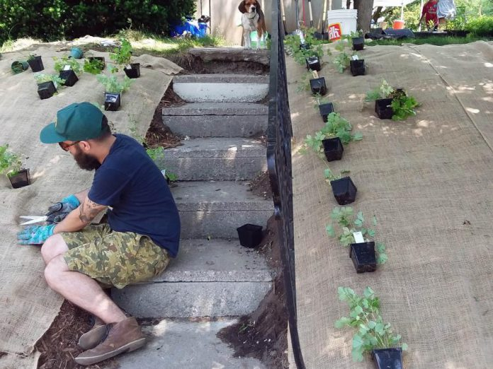 As part of the GreenUP Sustainable Urban Neighbourhoods (SUN) program, a resident at a Beverly Street home in Peterborough plants native wildflowers on their front yard in place of grass in order to reinforce the hill, reducing long-term watering requirements and lawn maintenance time. (Photo: GreenUP)