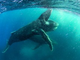 """A humpback whale feeding off the coast of Cape Town in a scene from """"Our Planet"""", a new Netflix docuseries narrated by Sir David Attenborough. Filmed in 4K in more than 50 countries, it premieres on Netflix Canada on April 5, 2019. (Photo: Netflix)"""