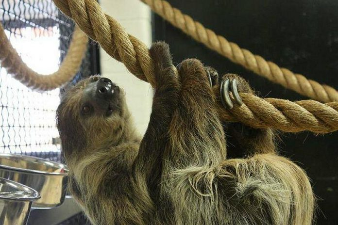 Porsche the two-toed sloth at the Riverview Park and Zoo in Peterborough passed away on March 4, 2019. (Photo: Riverview Park and Zoo / Facebook)