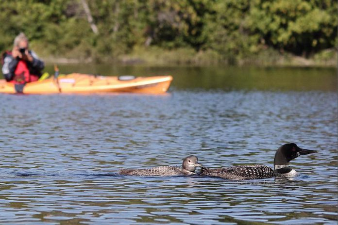 A kayaker watching loons from a safe distance, with a juvenile on the left and an adult beginning to moult to winter plumage on the right. (Photo: David Gignac)