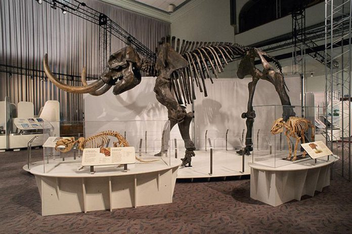 "A mastodon skeleton from ""Ice Age Mammals"", a travelling exhibit from the Canadian Museum of Nature on loan to the Peterborough Museum & Archives until September. (Photo:  Anthony Scullion / Canadian Museum of Nature)"