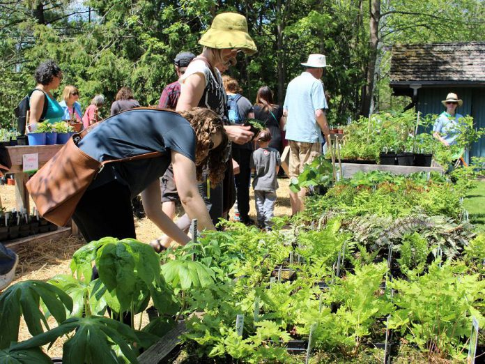 Customers shop for locally adapted native wildflowers and ferns at the GreenUP Ecology Park Garden Market. The market opens for the 2019 growing season on Saturday, May 18th with the Annual Spring Plant Sale. (Photo: Karen Halley)