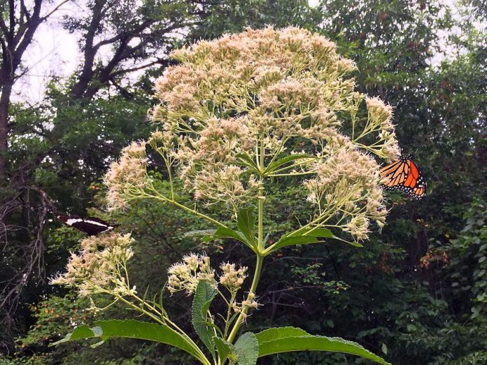 Two butterflies feed on nectar from a Joe-Pye weed plant at GreenUP Ecology Park. Joe-Pye weed is a great local species to plant in wet areas and will attract these beautiful native pollinators to your yard. (Photo: Karen Halley)