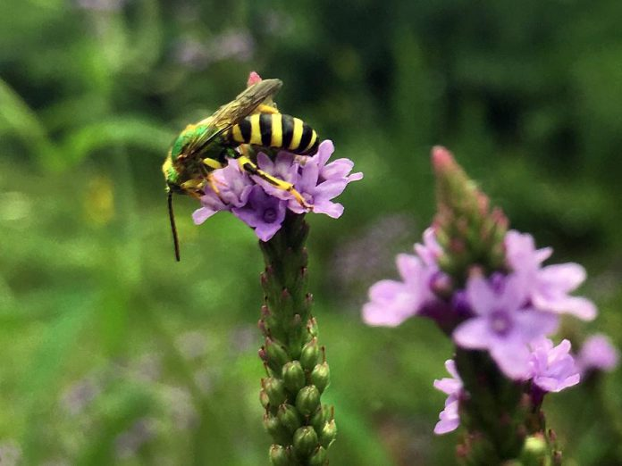 A metallic green bee feeds from a native verbena flower at GreenUP Ecology Park. The ground-nesting local pollinator species is native to southern Canada. (Photo: Karen Halley)