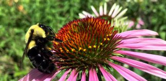 A bumblebee sits atop a coneflower, a native wildflower that is an excellent source of nectar for many pollinators, and adds natural beauty to any garden. GreenUP Ecology Park specializes in carrying native plants and locally adapted species. (Photo: Karen Halley)