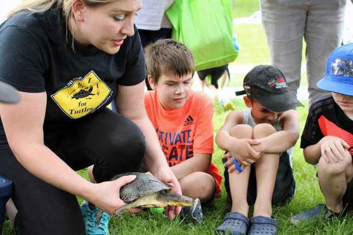 At the 2018 Peterborough Children's Water Festival, the Ontario Turtle Conservation Centre introduced young students to a few of their rehabilitated turtle friends. This Blanding's Turtle was injured on a road and now only has one eye; this animal now acts as an ambassador with outreach programs to help us understand the importance of turtle conservation. (Photo: Karen Halley / GreenUP)