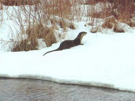 One of two playful river otters in Buckhorn from a video by The Highlands Cottages that was the top post on our Instagram for April 2019. Watch the video in our story to see the two otters having fun in the early spring snow. (Photo: The Highlands Cottages @thehighlandscottages / Instagram)